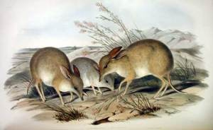 John Gould print image of the Pig-footed Bandicoot – a species extinction largely attributed to feral cat predation. Source: Museum of Victoria