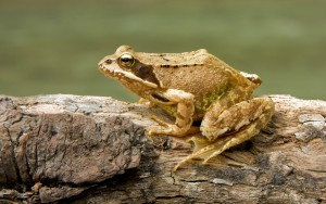 The common frog population declines, yet thrives in urban areas. Source: Wikipedia