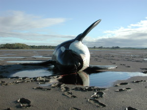 A stranded Orca in Merseyside, 2001. Image by CSIP - ZSL, used with permission.