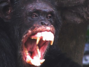 Male Chimpanzee bares his teeth. Image used under a creative commons licence from