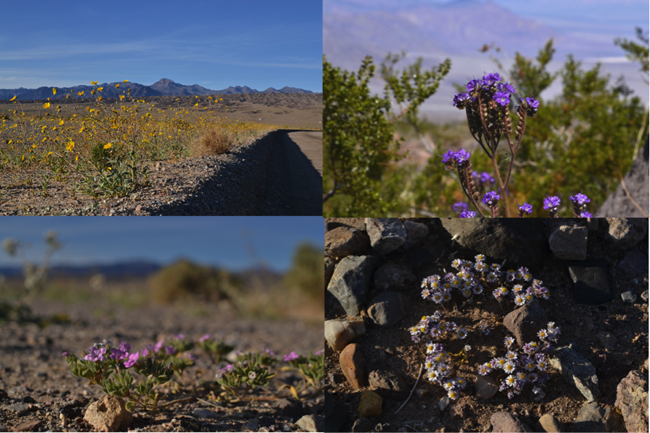 Desert flowers of Death Valley