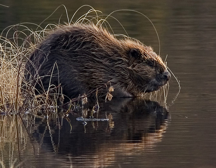 A Eurasian beaver, Castor fiber. Image used under a CC BY-SA 4.0 licence from Wikimedia.