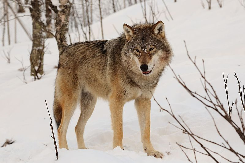 A European Grey wolf, Canis lupus lupus. Image